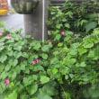 咲きだしたピンクフラミンゴ
