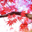 平林寺の紅葉 2017 その2(2017.11.16撮影)