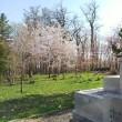 これから咲く桜