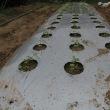 小カブ、ラディッシュが発芽、紅芯大根も発芽。