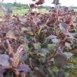 こぼれ種など発芽中