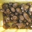 ポップコーン・キスミー播種  サトイモ掘り