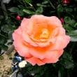 赤い薔薇の花は散った・・・あかちばらち・・・。