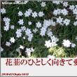 俳句写真1615 花韮の