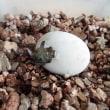 ヒガシヘルマンの孵化が始まりました