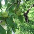№059-観察記録  ❛八重咲き蟠桃❜