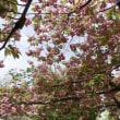 大阪造幣局の桜の通り抜け