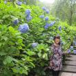 鎌倉の紫陽花めぐり