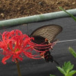 今日の散歩でまた黒い蝶を見て、舞い上がってしまいました。