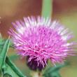 9月18日の誕生花は「アザミ」