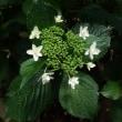 自然交雑種「潤水」(四季咲き)