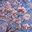 2)埼玉県坂戸市 北浅羽の安行寒桜 2018年3月17日