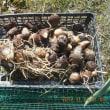 今日の収穫 サトイモ4株 ハクサイ ダイコン 下仁田ネギ ブロッコリー