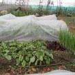 ミニハクサイの収穫