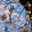 晩秋の新宿御苑 温室付近から正門へ  ユリノキ、ヒマラヤザクラ、ジュウガツザクラ、コブクザクラ、ペーパーホワイト