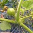 玉ねぎ栽培2017年、直播き、育苗畝共発芽した、今頃南瓜が花と実を