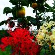 『彼岸花』 大玉柿