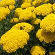 <キバナノコギリソウ(黄花鋸草)> 無数の小花が傘状に