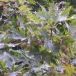 モミジバスズカケはプラタナスの一種、家の近くの公園に植栽。