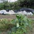白ナス、大豆の木を立て直しました。自然農の教え・・・「野菜自身になりきれ」