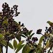 イジュの種子を食べに来たマヒワ