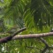 ノドアカゴシキドリ