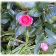 寒くなり始める初冬の花(^^♪寒く寂しい庭を美しく彩ってくれる「寒椿(カンツバキ)」