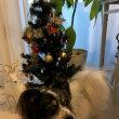 パピヨン・タッチくんのクリスマス