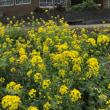 菜の花と木造校舎 #菜の花#校舎#立春間近
