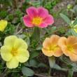 季節の花ポーチュラカ」
