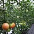 トマト収穫、始まりましたー!