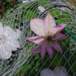 テッセン3種と白いバラ そしてラン(?)も咲き始めました