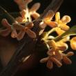 今朝も 金木犀の花