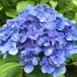 紫陽花の花はどれ?