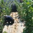 """""""炎天下の援農ボランティア""""  farm working under the blazing sun"""