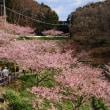 千葉県 鋸南町の頼朝桜