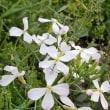 大根の花4.25