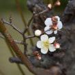 大阪城公園の蝋梅と早咲きの梅