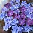 最後の紫陽花とコンサート