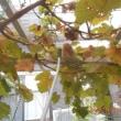 庭の果樹・タマネギの苗などにスミチオンを散布しました