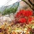 埼玉・神川町の城峰公園冬桜 H-29-12-4