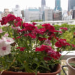ベランダの花たち。