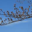 桜の蕾の先がピンク色に(八王子南浅川)