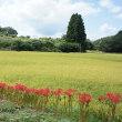 稲刈りのタイミング