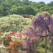 藤の花いっぱい