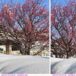 紅梅 と 雪