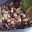 デンドロビウム・チェリーブロッソンが咲いた