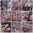 20020217マリンピア桜。この時は満開でしたね。今年の満開はまだまだ先です。