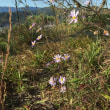センブリからムラサキセンブリへ 青紫色の花々      2018.11.02.(2)
