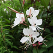 夏場涼しげな白い花